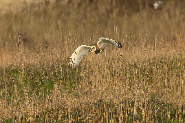 Short Eared Owl/