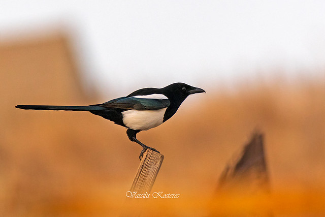 Pica pica, Καρακάξα, Eurasian magpie