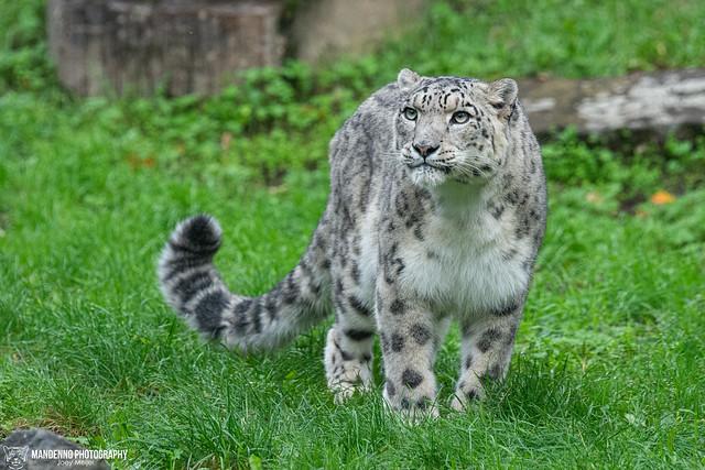 Snow Leopard - Zoo Koln - Germany