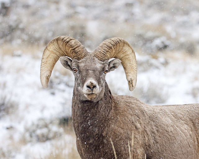 Big Horn Stare-down...
