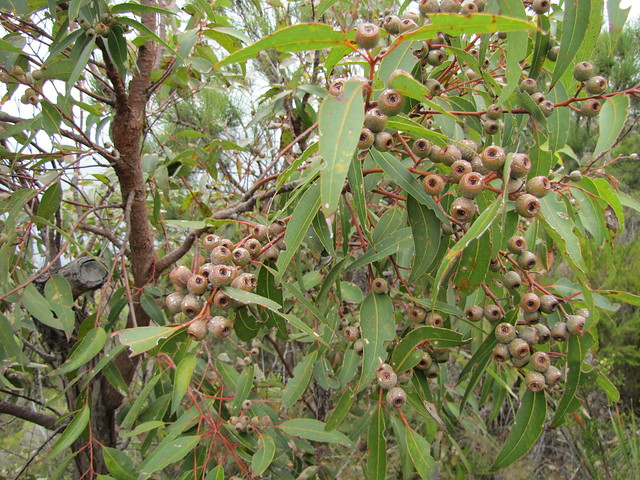 "Eucalyptus ""Nuts"" - Christmas Day Walk, Cosy Corner to Dingo Beach on the Bibbulmun Track"