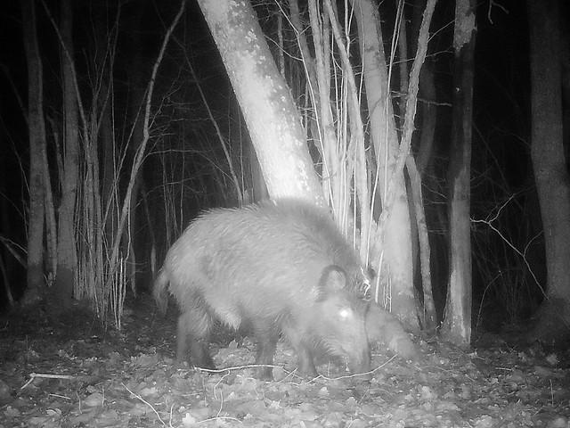 Metssiga rajakaameras / Wild boar on trail camera