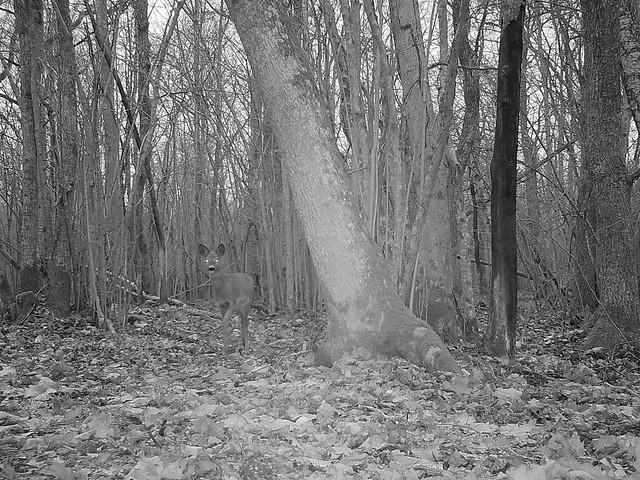 Metskits rajakaameras / Roe Deer on trail camera
