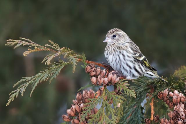 Pine Siskin at Westminster Ponds