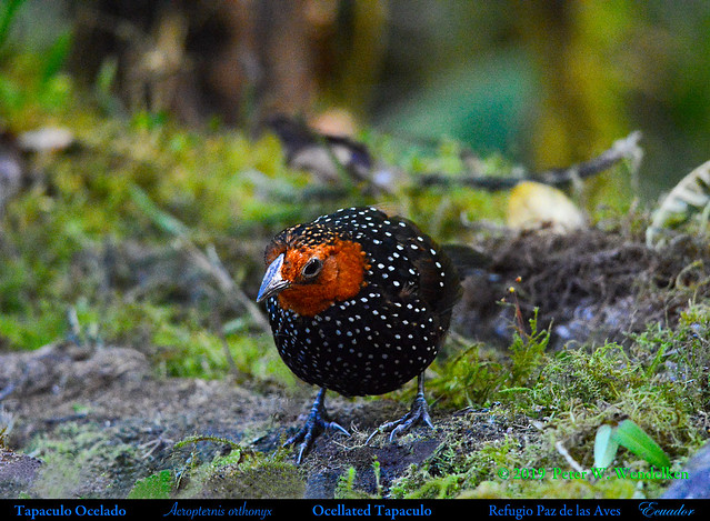 OCELLATED TAPACULO Acropternis orthonyx on the Forest Floor near Nanegalito in Northwestern Ecuador.