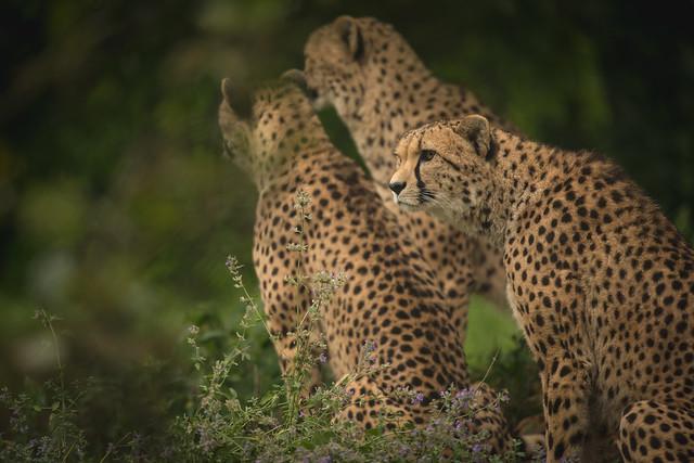 Gang of cheetahs.