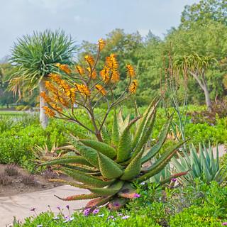 Aloe marlothii - South Africa