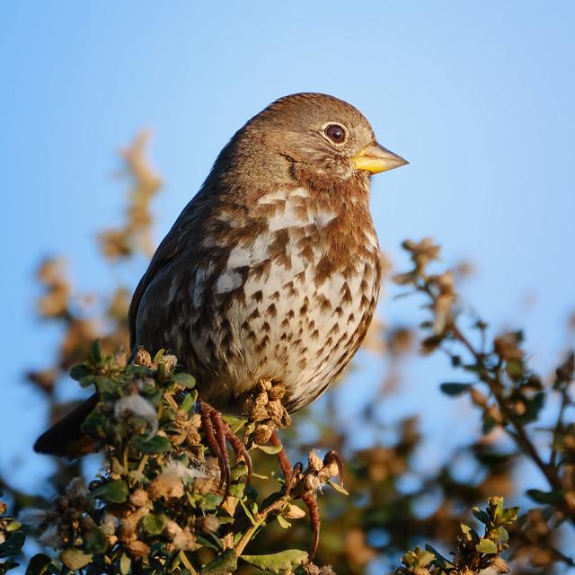 Perched: Fox Sparrow