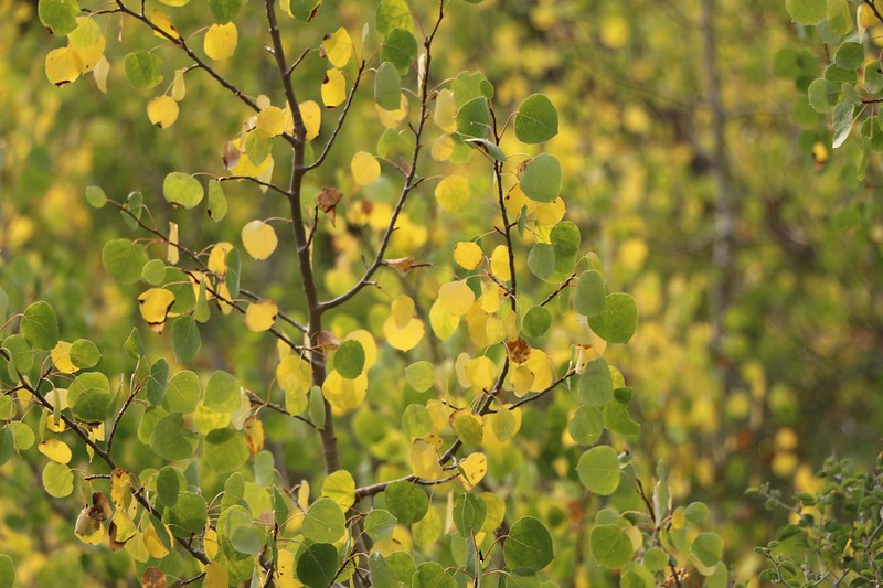 The Aspen leaves are beginning to turn yellow for Autumn even though it's still Summer, at 8500 feet on the PCT