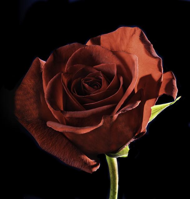 Backlit Red Rose In The Light