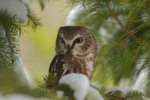 Northern Saw-Whet Owl   Morning Light