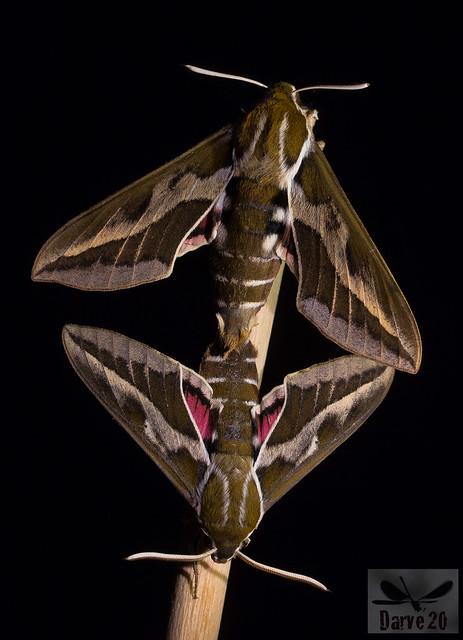 Esfinge de las Tabaibas - Hyles euphorbiae tithymali