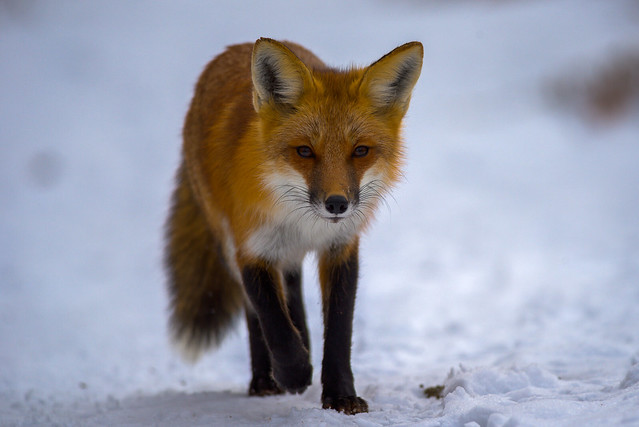 Red Fox | Locking Eyes