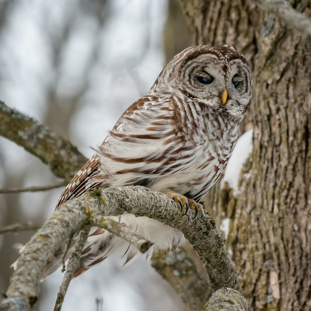 Barred Owl Blink - 0013