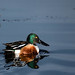 Northenr Shoveler close up