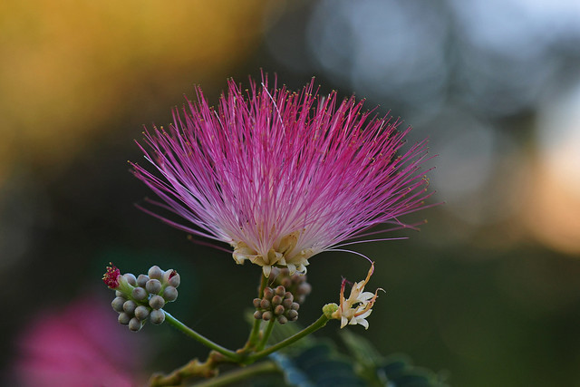 Pink Silk Tree (Albizia Julibrissin)
