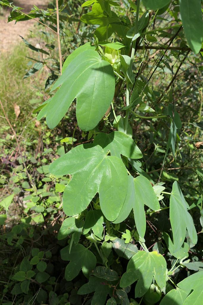 Passiflora subpeltata (white passionvine)
