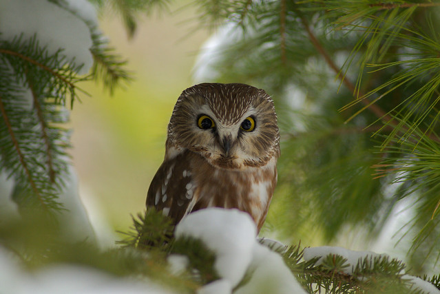 Northern Saw-Whet Owl | Morning Light