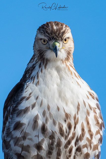 Red-tailed Hawk - Buteo jamaicensis | 2020 - 12
