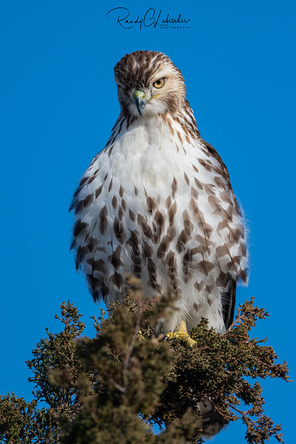 Red-tailed Hawk - Buteo jamaicensis | 2020 - 11
