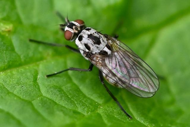 Anthomyia pluvialis  --  L'anthomyie pluviale ou mouche des pluies