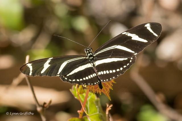Zebra Longwing butterfly 502_5579.jpg