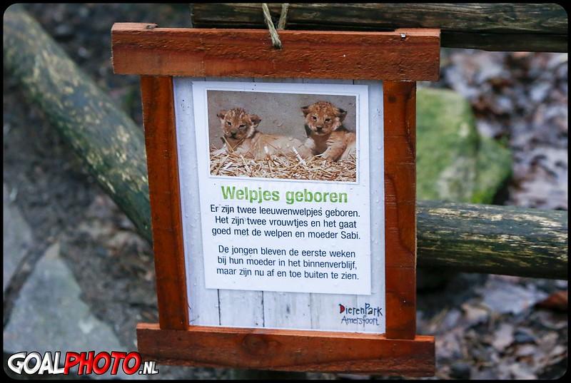 28-12-2020 Leeuwenwelpjes Dierenpark Amersfoort