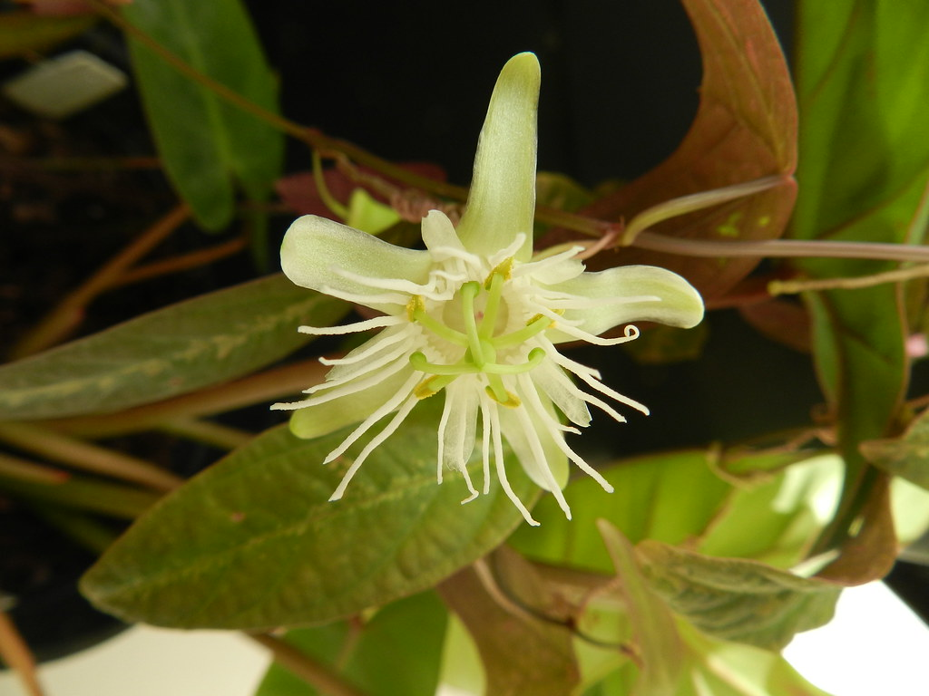 Passiflora amalocarpa Barb.Rodr.
