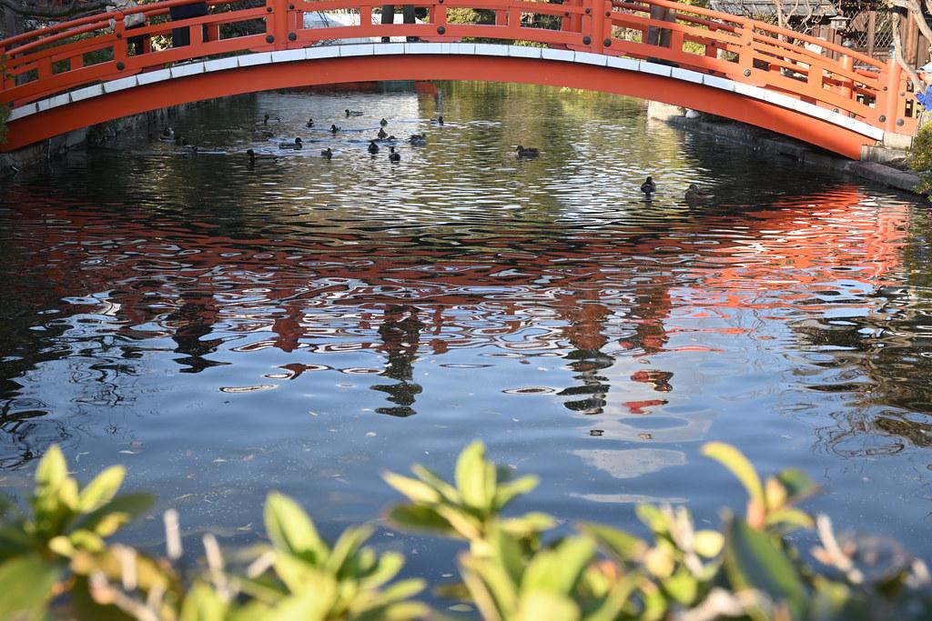 山茶花咲く 冬の神泉苑