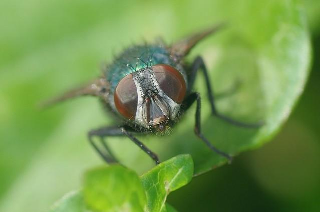 Greenbottle Fly - Lucilia sericata