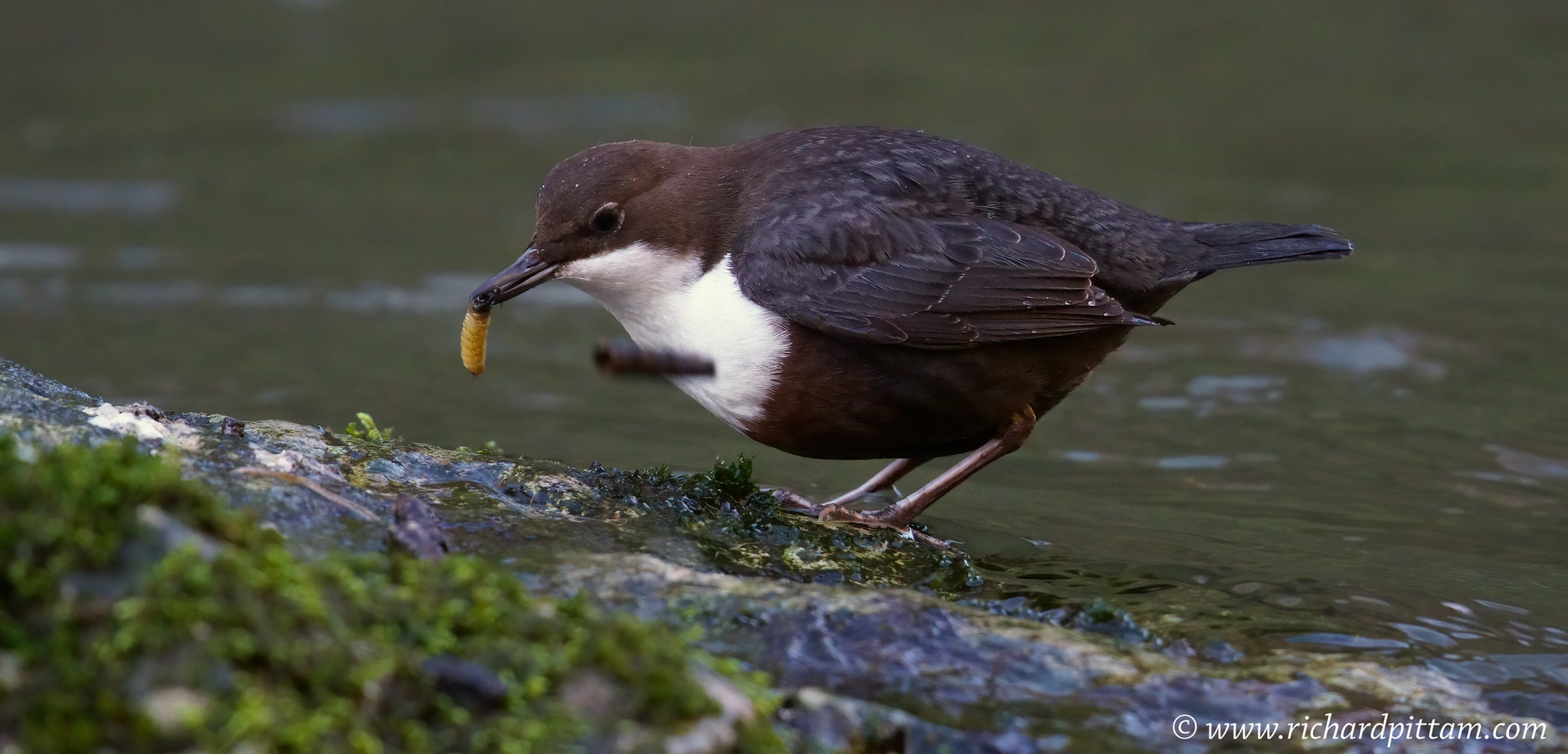 Dipper - wished I had more SS for this separating the Caddis grub from it's casing :-(