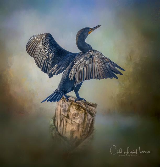 Cormorant ~ Mattamuskeet, NC