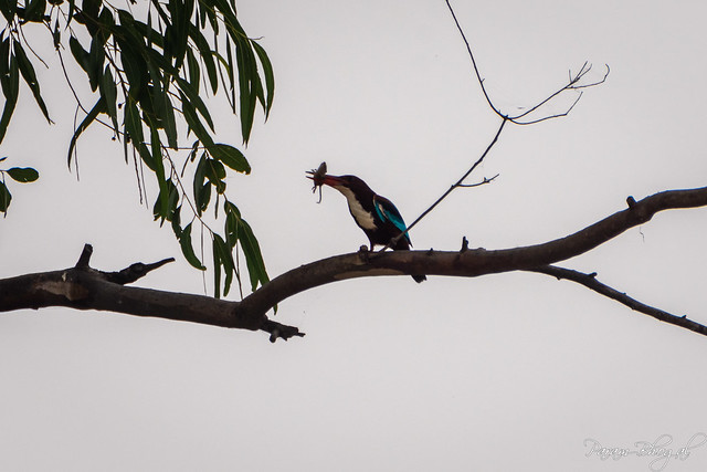 Kingfisher Catch - III (PB2_3016)