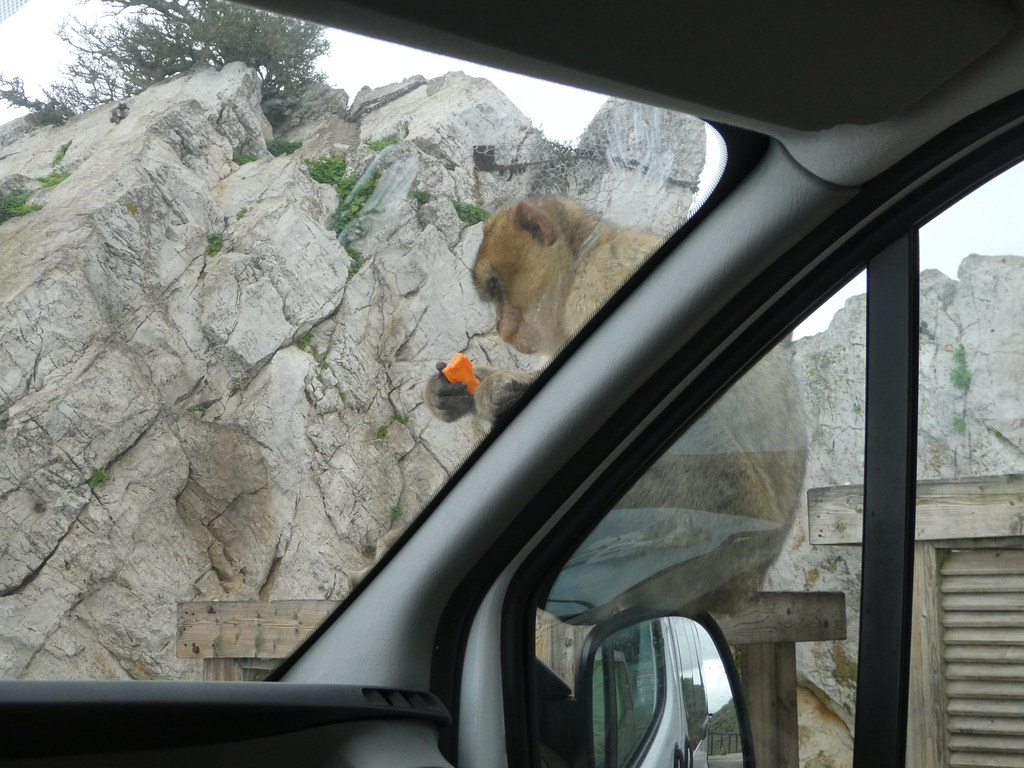A macaque hitching a lift on our wing mirror on the Rock of Gibraltar