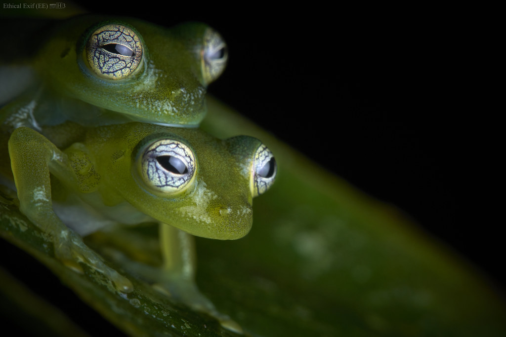 Mating ghost glass frogs (Sachatamia ilex)