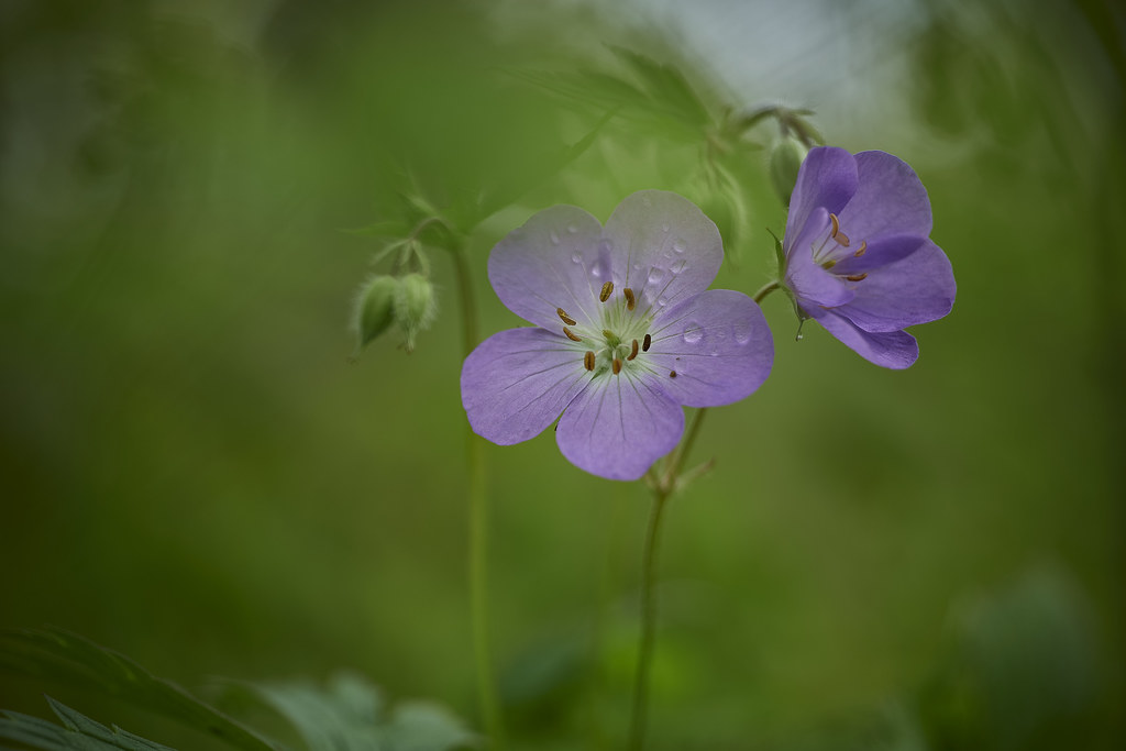 flowers for you, flowers for us, wild geraniums, 5-20 12