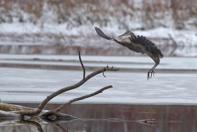 Great Blue Heron   Soft Landing