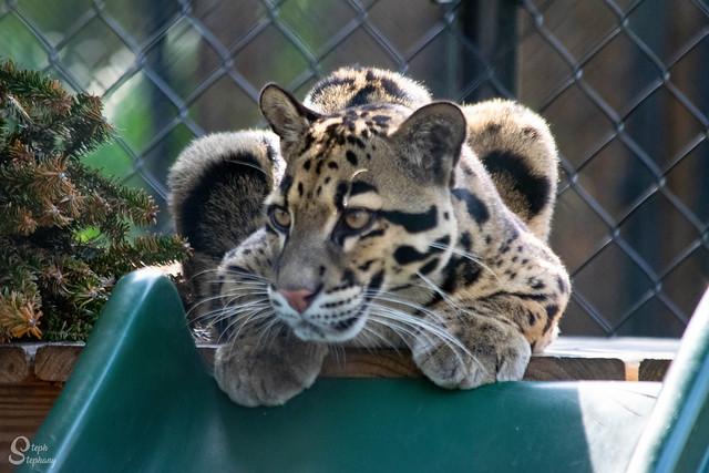 DSC_4611 ~ Clouded Leopard
