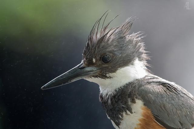 Martin-pêcheur d'Amérique // Belted Kingfisher