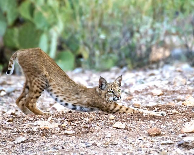 Bobcat Yoga