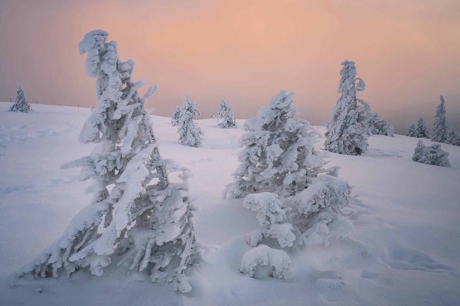 White trees - Zentralschweiz