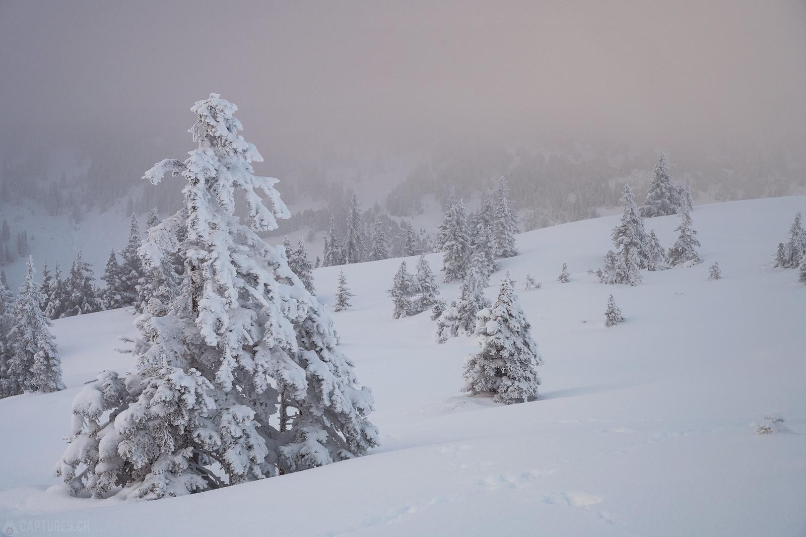 White tree - Zentralschweiz