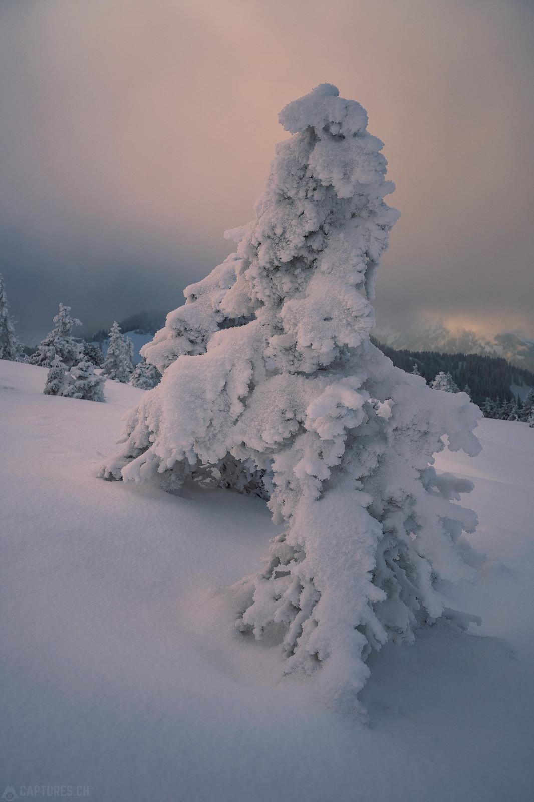Frozen tree - Zentralschweiz