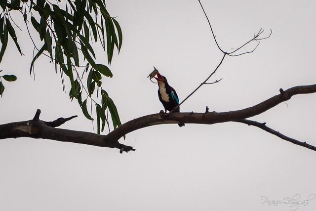 Kingfisher Catch - II (PB2_3013)