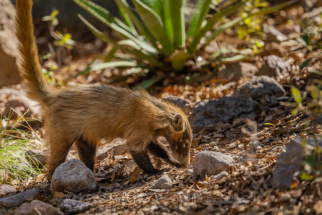 White-nosed Coati in Chiricahua National Monument