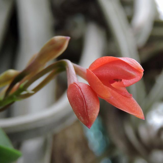 2020-12-14 Cattleya cernua - BG Teplice