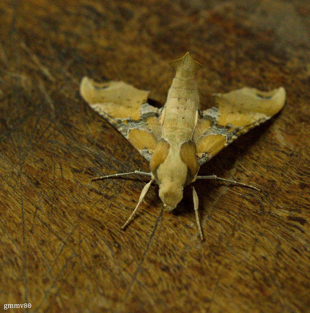 Callionima grisescens