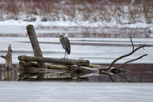 Great Blue Heron   Morning Watch