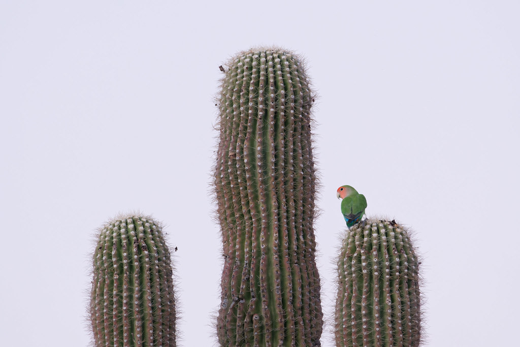A rosy-faced lovebird perches on one of several saguaro arms after sunset at George Doc Cavalliere Park in Scottsdale, Arizona on December 21, 2020. Original: _RAC1197.arw