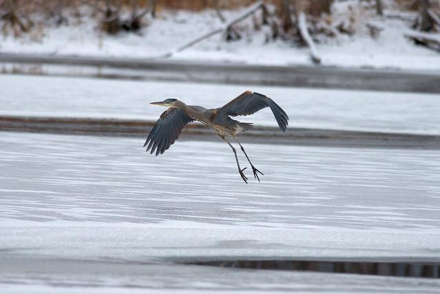 Great Blue Heron   Hang Time
